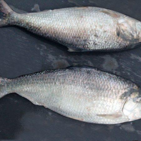 Fresh Hilsa from Padma River